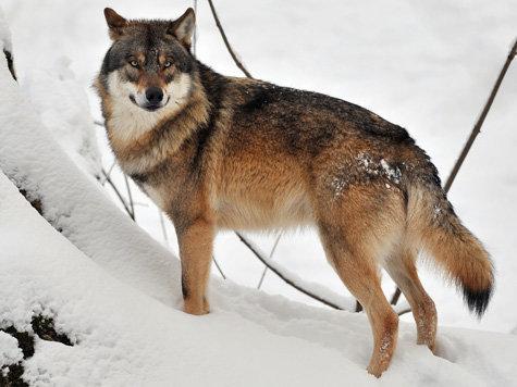 Wolf - Page 3 1567639852-wolf-schnee.9